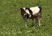 Государство начало платить селянам за молодняк крупного рогатого скота