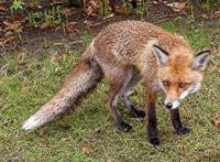 Інфікована лисиця покусала жителів  Ізюмщини