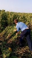 На Ізюмщині СБУ ліквідувала незаконну плантацію конопель