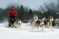 Под Харьковом пройдут гонки на собачьих упряжках
