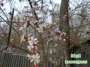 В Ізюмі зацвітають абрикоси