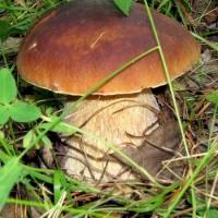 В Изюмских лесах начался грибной сезон